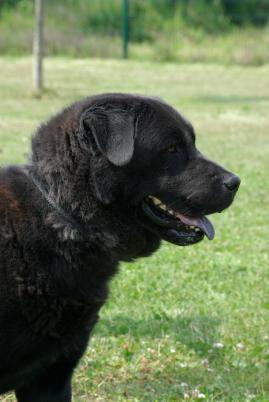 RUCHANG - x labrador/chow chow 10 ans(7 ans de refuge)  UDA à Beautor (02) 149